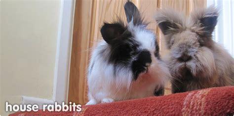 house rabbits  rabbits  indoors litter