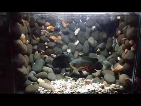 aquascpe aquarium design batu alam oscar fish