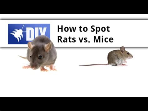 difference between rat and mouse dog breeds picture