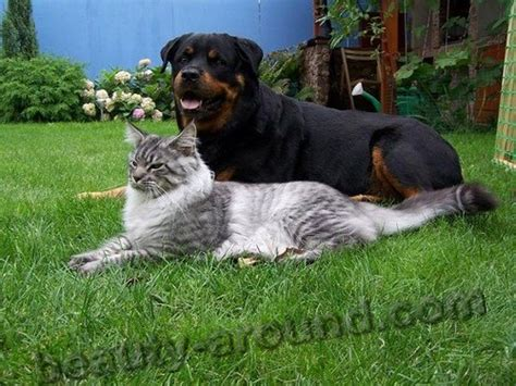 good house pets besides dogs cats maine coon the largest breed of cats video and 50 photos
