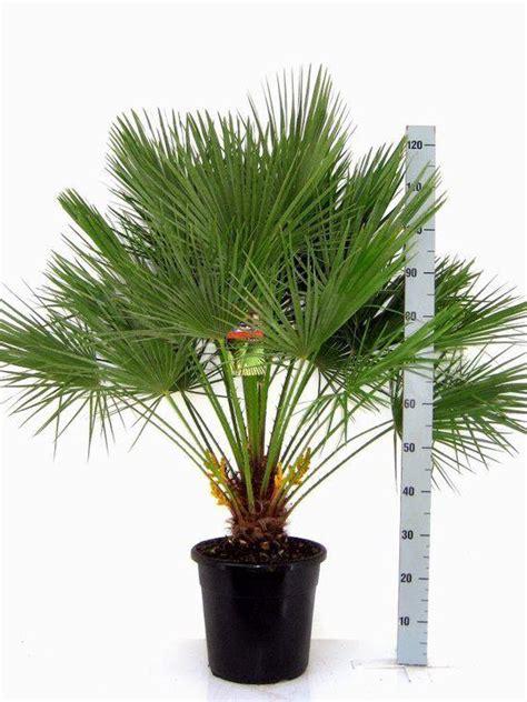 winterharde palmboom in tuin bol winterharde palmboom chamaerops humilis palmboom