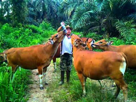 Bibit Sapi Payakumbuh proses jual sapi simental desa wonoharjo kec rowokel