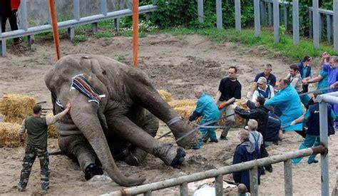 Elepant Tub cutting an elephants toe nails monkey review