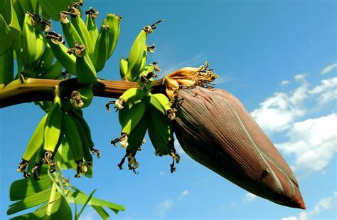pianta di banana in vaso come coltivare il banano coltivazione