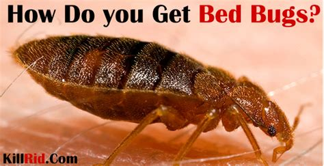 how u get bed bugs how do you get bed bugs