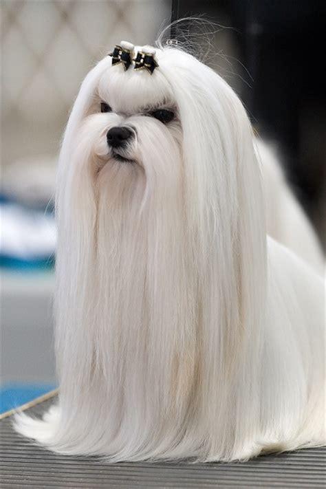 maltese puppy haircuts maltese haircuts bob cut puppy cut top knot