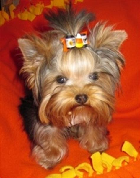 yorkies inc 17 best ideas about yorkie hairstyles on terrier haircut yorkie