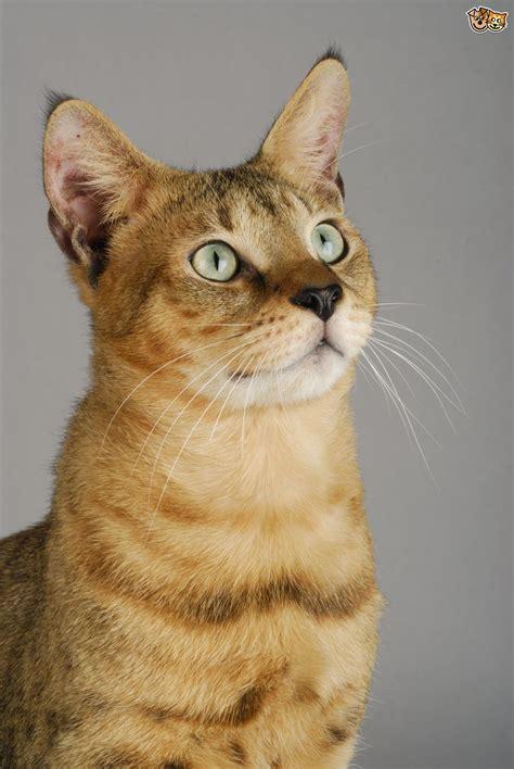 information   chausie cat breed petshomes