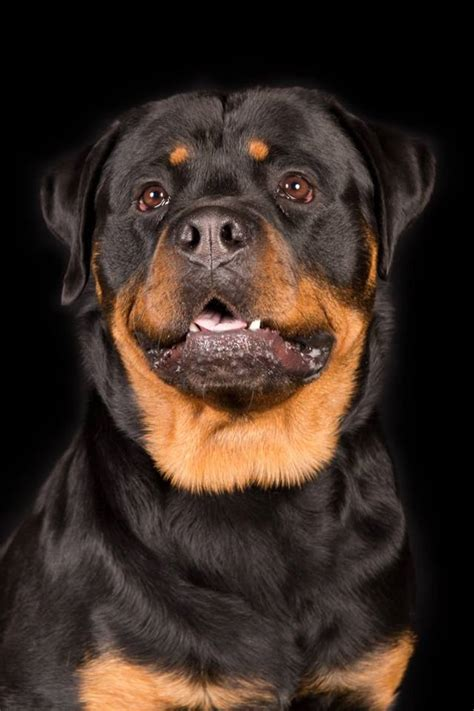 real rottweiler rottweiler reviews real reviews from real