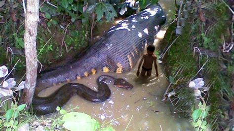 vidio film ular anaconda ular anaconda terbesar di amazon youtube