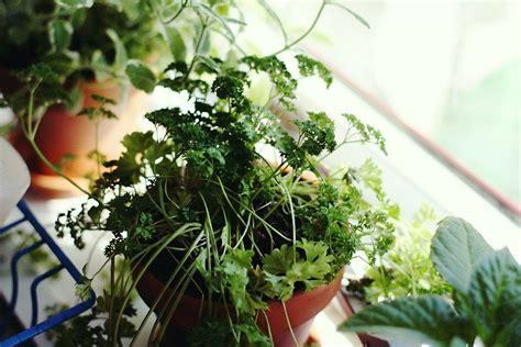 Herbs Windowsill by How To Grow An Indoor Window Sill Herb Garden