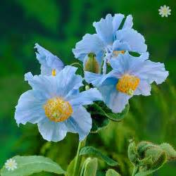 Plant Disease Impact Factor - himalayan blue poppy