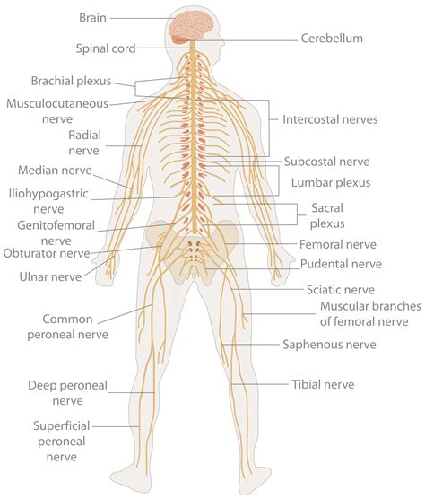 diagram of central and peripheral nervous system human organ systems starkgrade5