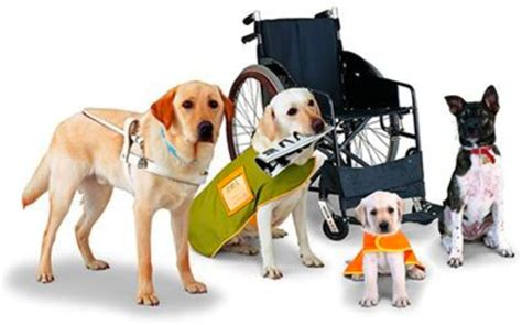 how to your to be a service animal meet truman your new companion and service the knowledge