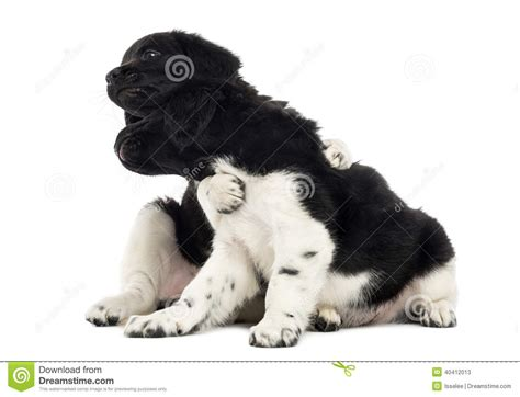 stabyhoun puppies stabyhoun puppies together isolated stock photo image 40412013