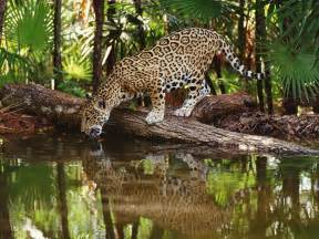 Belize Jaguars Belize Caribbean Cayes Wildlife And Mayan