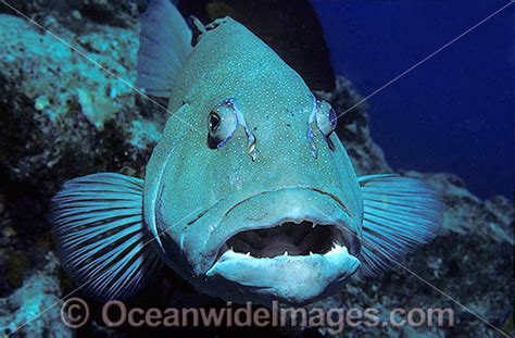 tattoo licence cost qld coral trout plectropomus leopardus stock photo