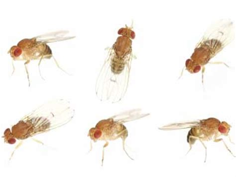 fruit fly infestation in bathroom gnat infestation howstuffworks