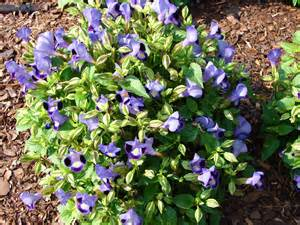 Pictures Of Flower Seeds - torenia blue weeds and seeds