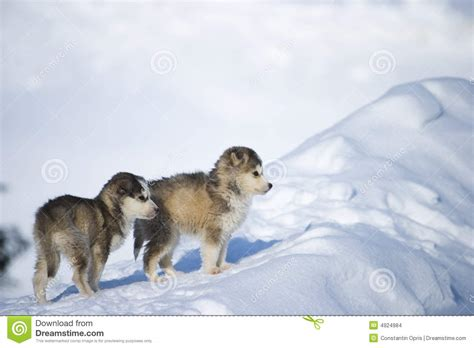 puppy in the husky puppies stock photo image of animals cold pets 4924984