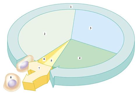 cell cycle diagram to label cell cycle labeling diagram images