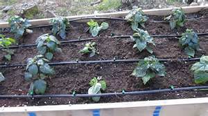 Cedar Raised Beds Raised Beds W Drip Irrigation Peppers Super Hots And