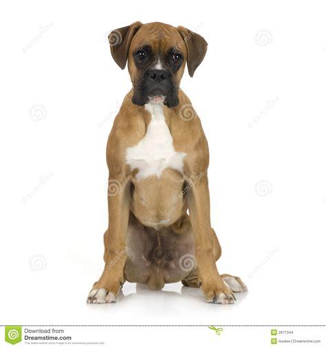 5 month puppy german shepherd alsatian 5 month stock photo stock breeds picture