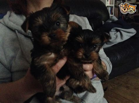 affordable yorkies for sale yorkie pups for sale dagenham essex pets4homes