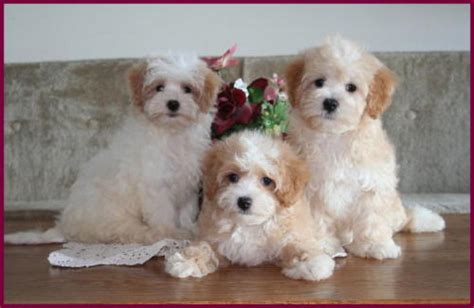pictures of maltipoo puppies image gallery maltipoo adults