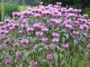 canning granny herbal medicine part 2 bee balm and bee