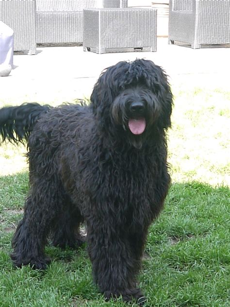 standard labradoodle puppies for sale multi generation f8 standard labradoodle puppies tarporley cheshire pets4homes