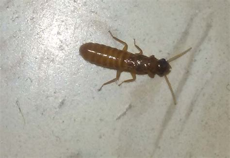 termites archives whats  bug