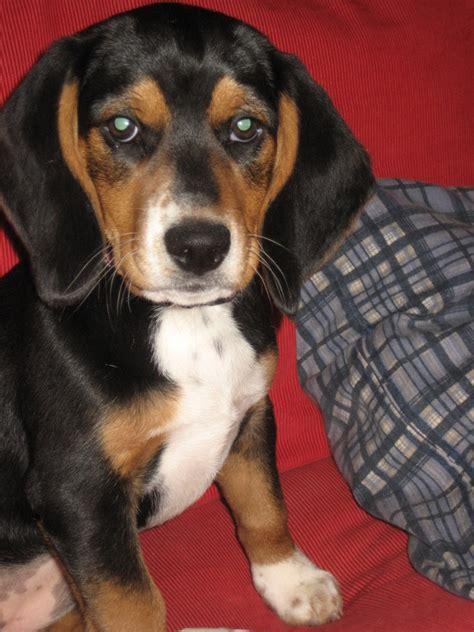 black beagle puppies macybay beagles welcome to macybay beagles