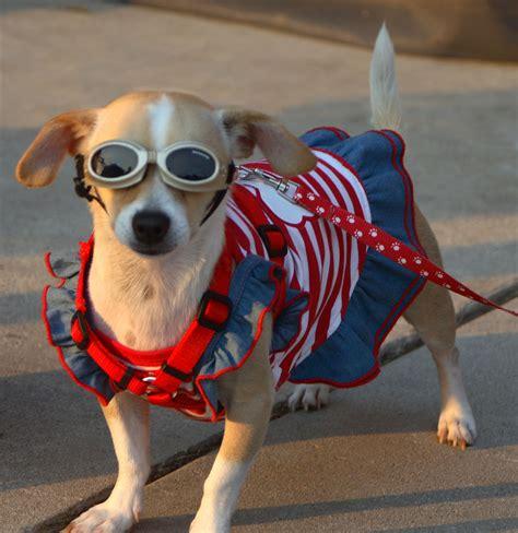 patriotic puppy patriotic cat contest steve dale s pet world