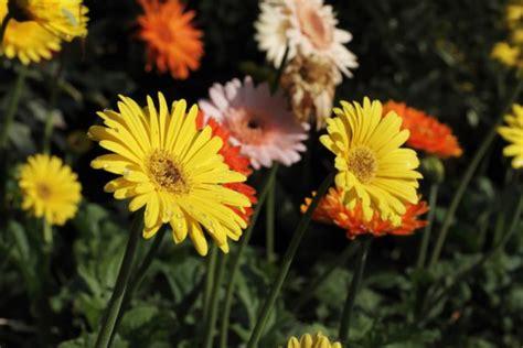 Gerbera Garten Pflanzen by Gerbera 187 Pflanzen Pflegen Schneiden Und Mehr