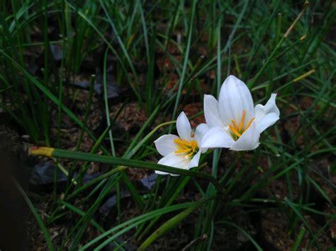jual tanaman hias bunga tulip  tanaman kucai bunga