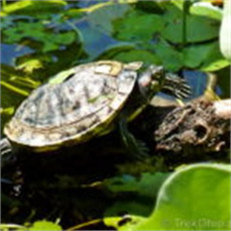 Eared Slider Shedding by Beginning Of The Hibian Cycle Trekohio