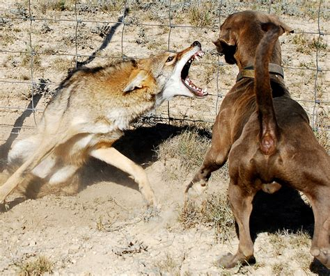 are coyotes dogs 1000 images about on