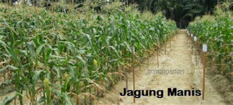 Benih Jagung Manis Malaysia anim agro technology kosting jagung manis