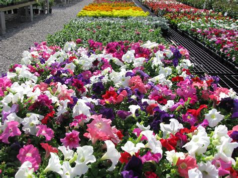 bedding plants bedding plants annuals