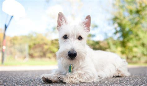 differeñt cut for sçott terrier breeds scottish terrier dog breed information