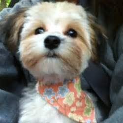 morkie haircuts pictures darla my morkie morkie cuts grooming pinterest