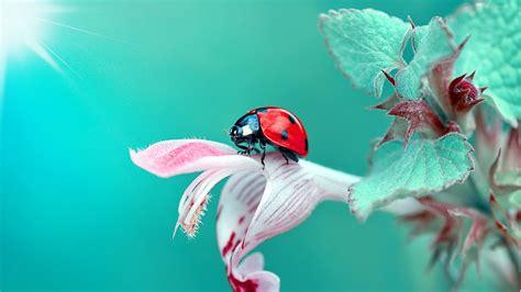 insect ladybug macro full hd  wallpaper