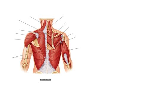 names of back muscles human anatomy pictures lower back muscles
