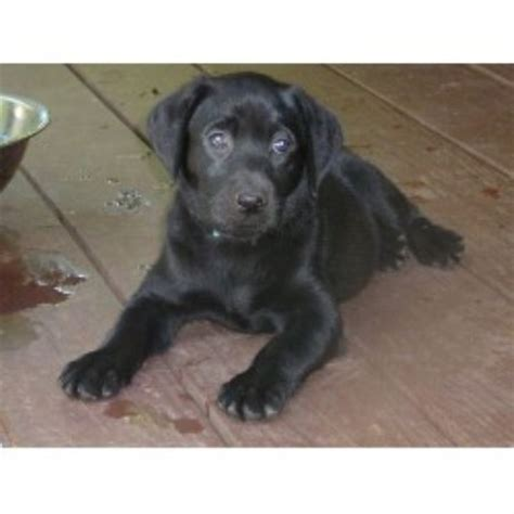 lab puppies for sale in sc labrador retriever lab breeders in carolina