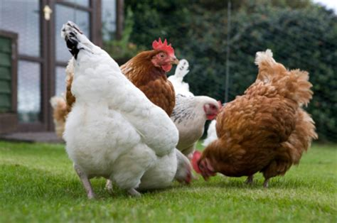raising chickens in your backyard raising chickens in your backyard in ashburton