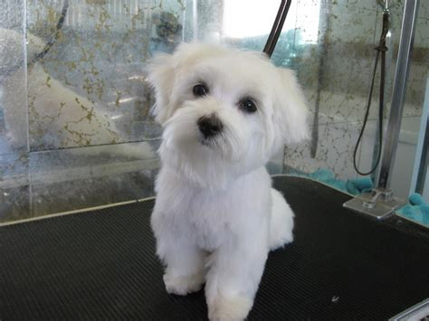 boy maltese haircuts male maltese dog haircuts