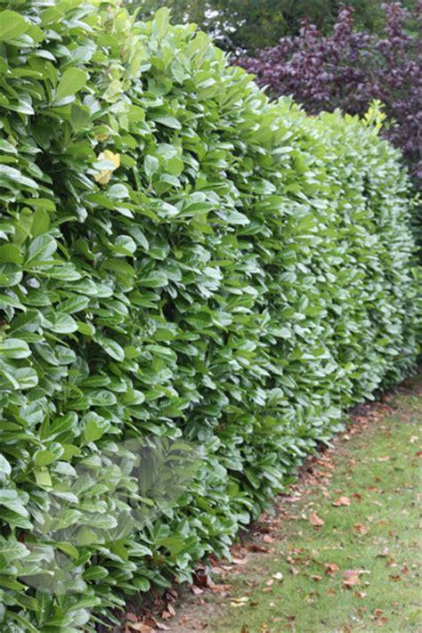 prunus laurocerasus rotundifolia hedge 5 buy laurel prunus laurocerasus rotundifolia delivery by