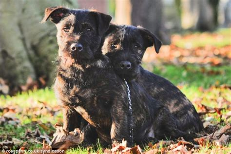 rottweiler and westie puppies tiny westie mates with rottweiler his size to create new breed