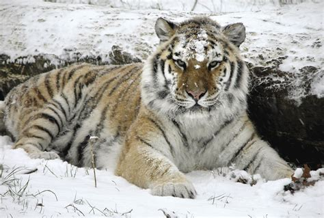 Tiger Wallpaper   Tigers Photo (9981612)   Fanpop